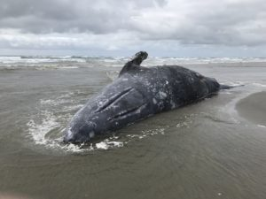 More Than 70 Gray Whales Dead in 6 Months, and Scientists Don't Unders...