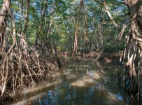 Storing carbon and saving the economy? Mangroves can do both.