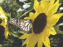 Across the U.S., people are helping monarchs survive | Arts And Entert...